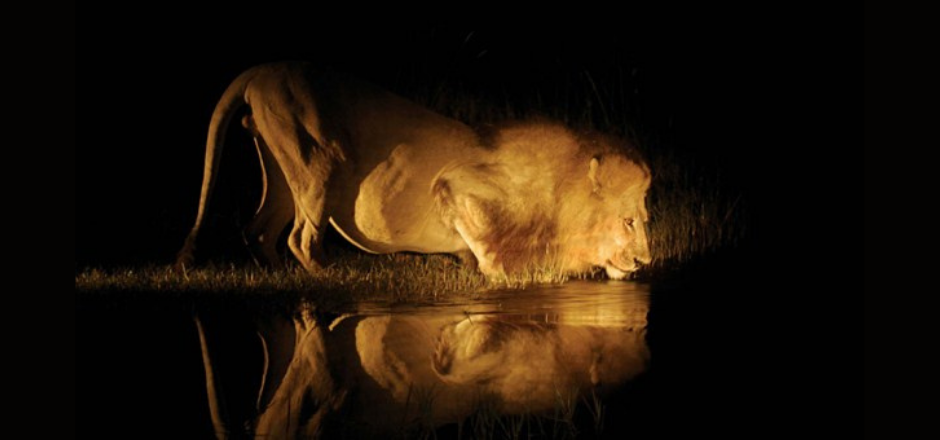 león bebiendo agua en un río de noche